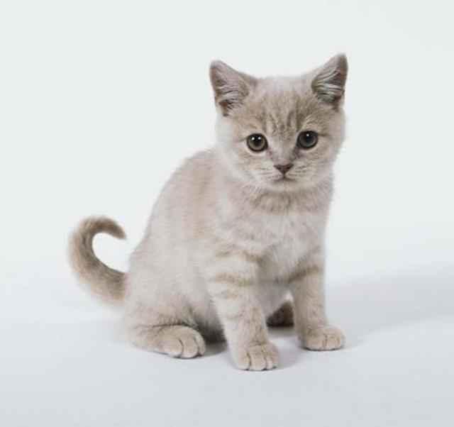 Кошки европейские: описание породы, характер, особенности ухода, история