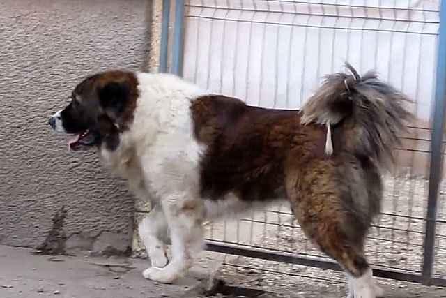 Описание кавказских овчарок: особенности внешности и поведение волкодавов