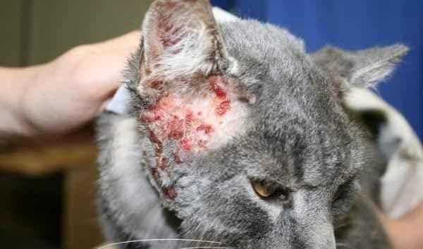 Описание кожных заболеваний у кошки: причины, признаки и способы лечения