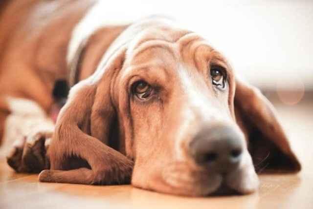 Почему собаки могут скулить без видимых причин и не находить себе места