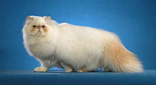 Все о ржавой кошке - самом маленьком диком коте в мире, сколько он стоит