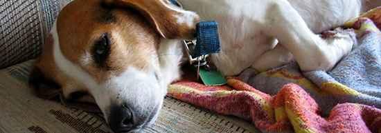 По каким причинам собаку может рвать белой пеной со слизью и что можно сделать