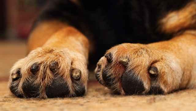 По каким причинам собака может кусать и грызть лапу и что сделать хозяину