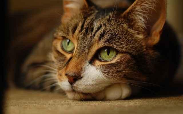 Какими средствами лучше обрабатывать открытые и гнойные раны у кошек