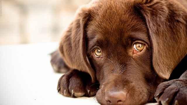 По каким причинам у собак могут слезиться глаза и что сделать в таком случае
