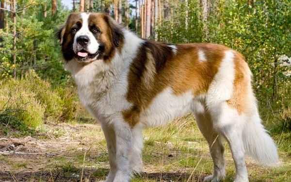 Обзор лучших сторожевых собак для качественной охраны частных домов