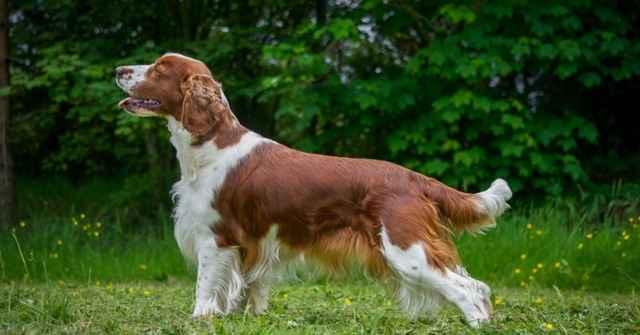 Характеристика внешности и поведения уэльского вельш-спрингер-спаниеля