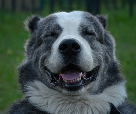 Особенности армянского волкодава породы гампр: чем отличается от алабая