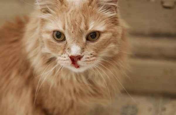 Причины носового кровотечения у кота: диагностика, признаки и лечение