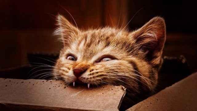 Смена зубок у котят: примеры в каком возрасте, когда выпадают молочные и другие