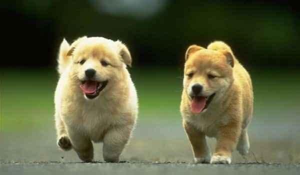 Характеристика породы собак чау-чау: поведение, продолжительность жизни
