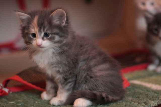 Кошки норвежские лесные: описание породы, характер, особенности ухода, история