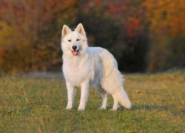 Какие существуют белые собаки: список и описание пород белого окраса