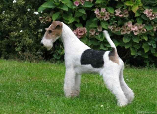Как выглядят фокстерьеры: подробная характеристика этой породы собак