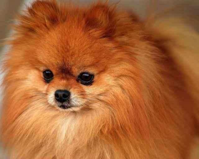 Особенности внешнего вида белых шпицев: содержание щенков и взрослых собак