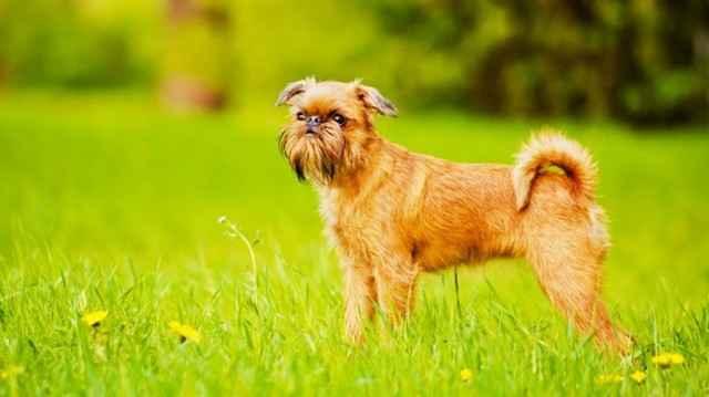 Все о породе брюссельских гладкошерстных гриффонов: характеристика собак