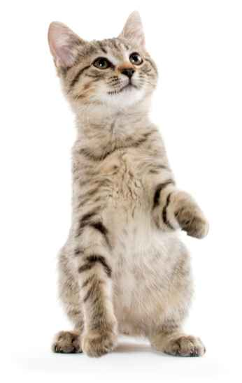 Через какой период перед прививкой нужно давать кошкам глистогонные препараты