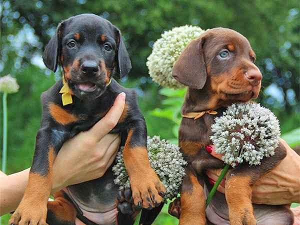 Средняя продолжительность жизни собак мальчиков породы такса дома