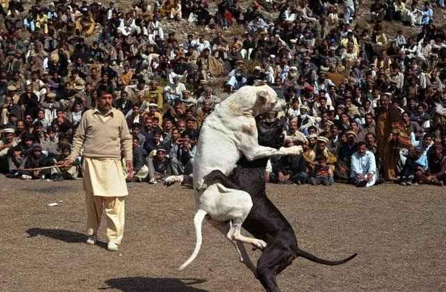 Характеристика гуль донга: внешность и поведение пакистанских бульдогов