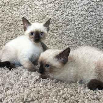 Как выглядят сиамские кошки: характеристика породы и особенности характера