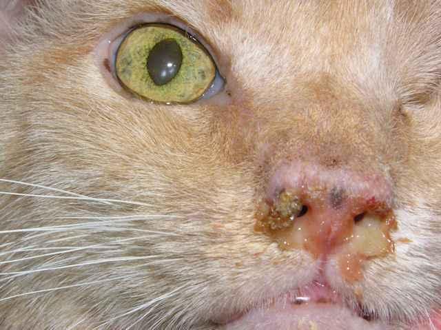 Основные причины и варианты лечения учащенного дыхания животом у кошки