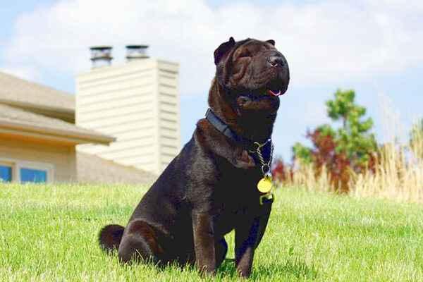 Описание внешности собак шарпеев: особенности китайских и американских пород