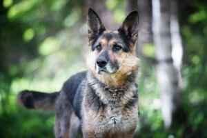 Какие бывают метисы овчарок: описание внешнего вида и особенностей таких щенков