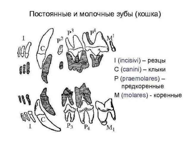 Особенности строения зубов у кошек: сколько их у взрослых котов и котят