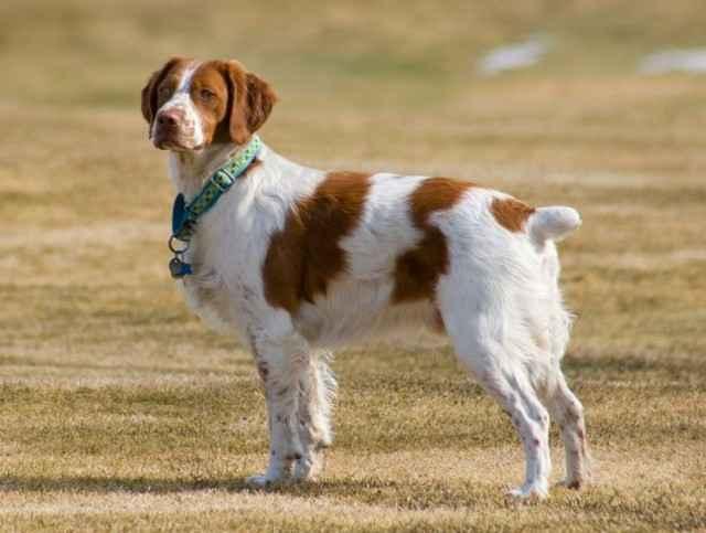 Список всех легавых собак: обзор русских, английских и немецких пород