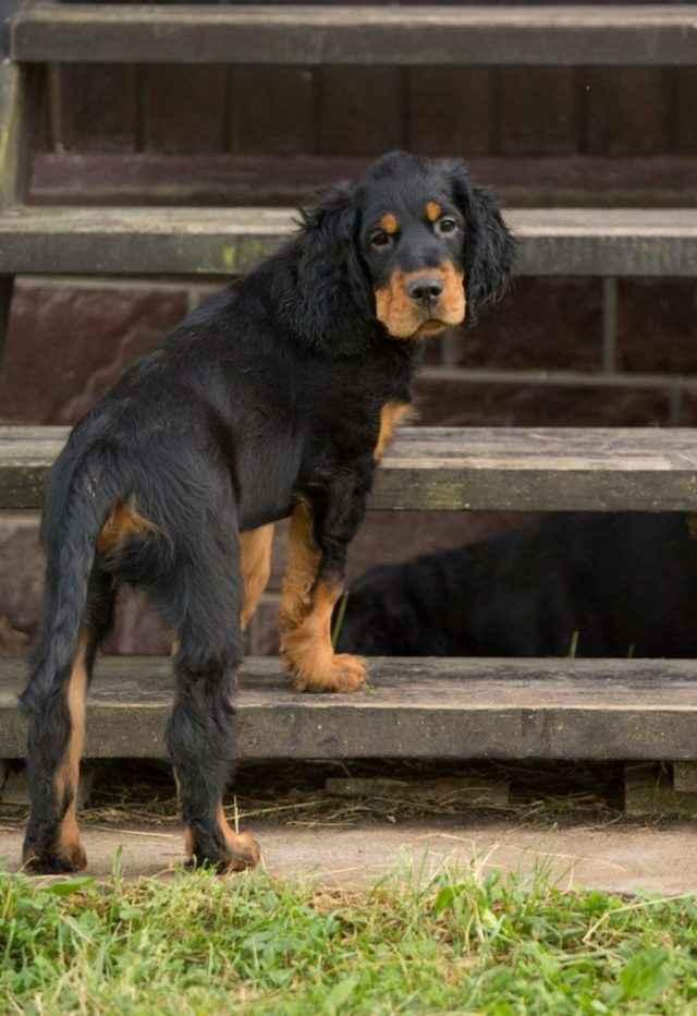 Что такое сеттер: подробно о характеристиках русских собак, разновидности