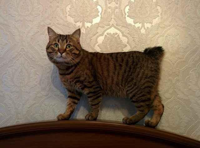 Кошки породы американский бобтейл: описание, характер, особенности ухода