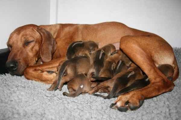 Как понять что собака рожает и как происходит процесс в домашних условиях