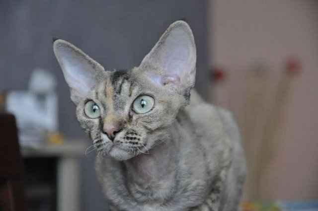 Подробное описание породы кошек корниш-рекс: длительность жизни, описание