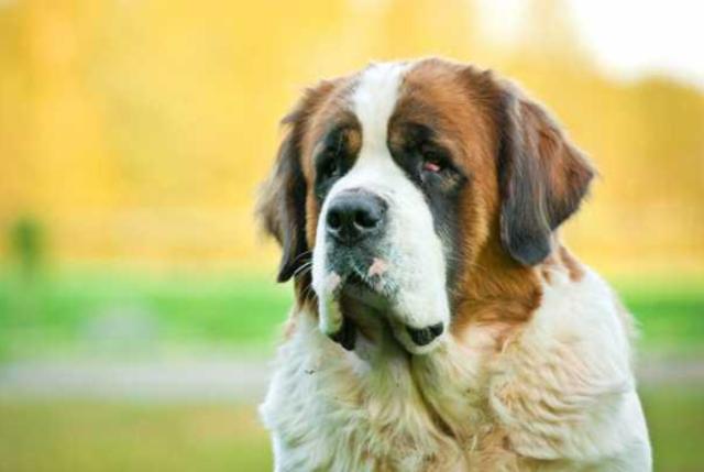 Название породы собак из Бетховена: интересные факты и описание вида