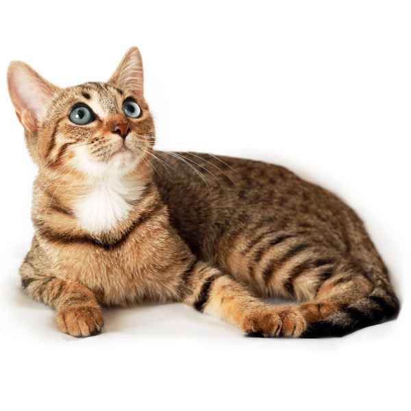 Деление пород кошек на категории и виды: какие бывают и как выглядят