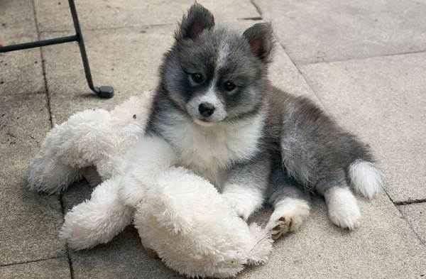 Кто такие помски: характеристики и особенности данной породы собак