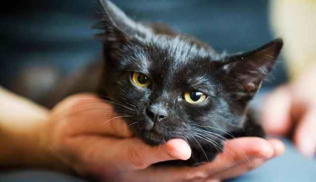 Передается ли кошачий лишай от животного к человеку: способы передачи