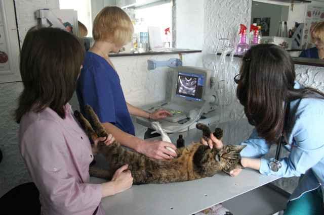 Все об короновирусном и парвовирусном энтерите у котов: симптпоматика и лечение