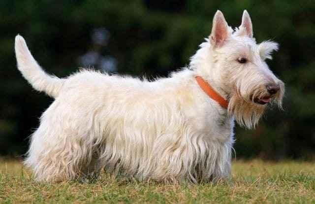 Подробная характеристики шотландских скотч терьеров: внешность и поведение