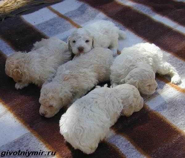 Описание породы лаготто-романьоло: особенности итальянской водяной собаки