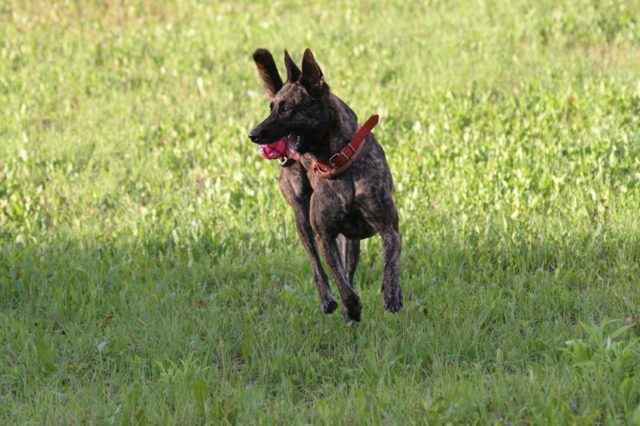 Описание ложной беременности у собак: признаки, сколько длится, что делать