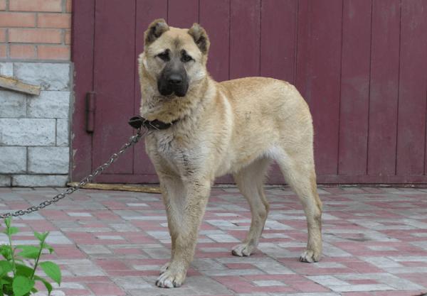 Интересное о помеси немецких овчарок и ротвейлеров: особенности собак малховеров