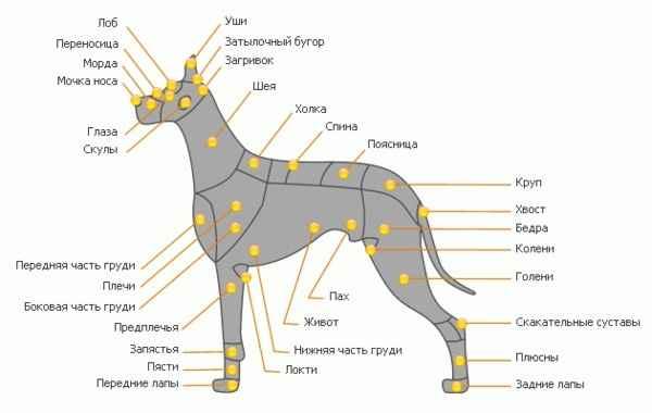 Пошаговая инструкция по правильному измерению роста собаки в холке