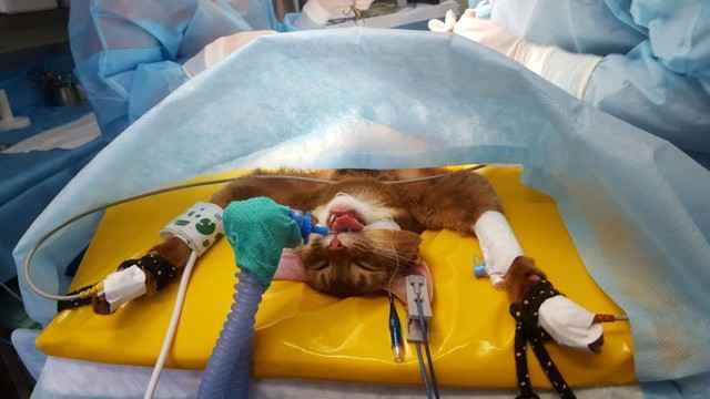 Как правильно ухаживать за кошкой в период реабилитации после стерилизации