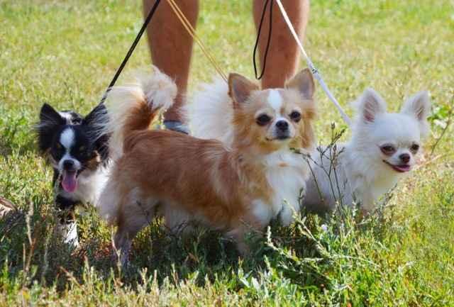 Какие существуют виды собак породы чихуахуа: описание всех окрасов