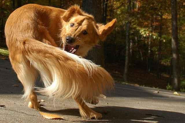 По каким причинам собака может постоянно бегать за хвостом и кусать его
