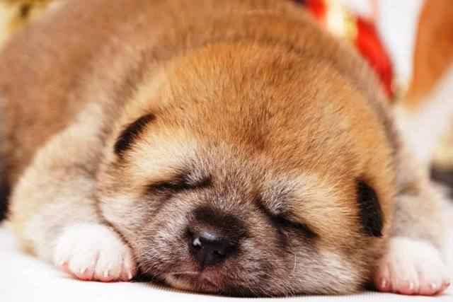 Чем отличаются породы собак акита ину от сиба ину: основные моменты