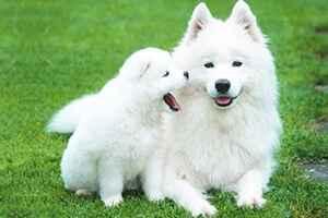 Откуда произошло название самоедских собак: характеристика породы