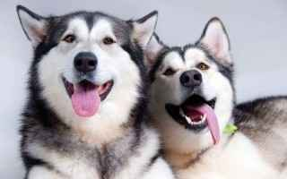 Как выбрать красивую кличку для щенка хаски: варианты для мальчика и девочки