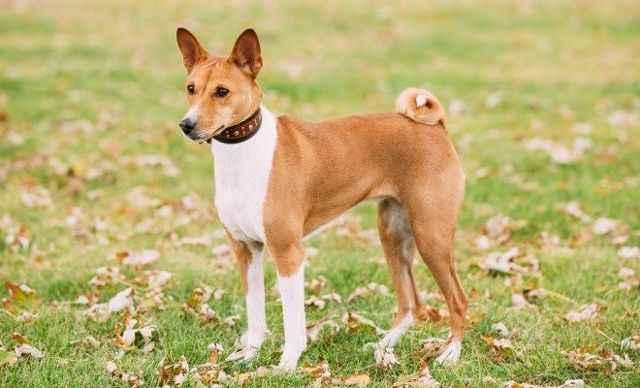 Особенности африканских нелающих собак басенджи: характеристика породы